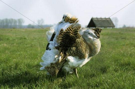 Great Bustard Otis tarda, male during mating season at the Protection and Breeding Facility Devavanya, Hungary, Europe