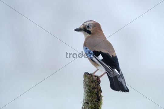 Eurasian Jay Garrulus glandarius perched on branch