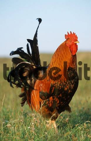 Free-range domestic fowl, rooster, Texel Island, Netherlands