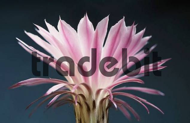 Cactus blossom Echinopsis spec.