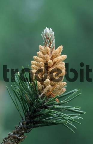 Swiss Mountain Pine Pinus mugo