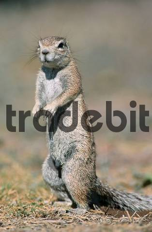 Cape Ground Squirrel, Etosha national park, Namibia Xerus inauris