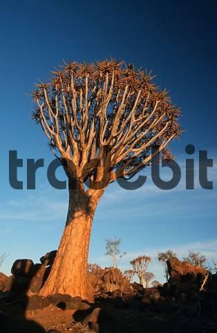 Quiver Tree, Keetmannshoop, Namibia Aloe dichotoma