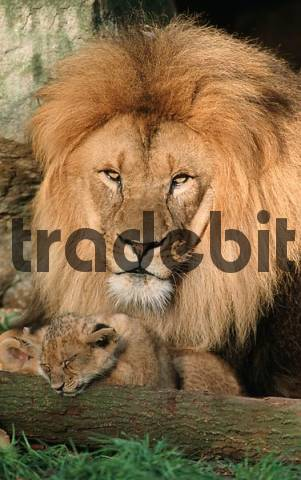 African Lions, male with cub Panthera leo