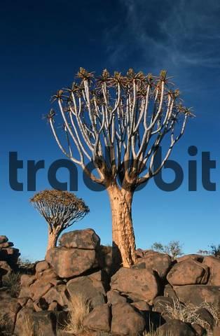 Quiver Tree, Keetmanshoop, Namibia Aloe dichotoma