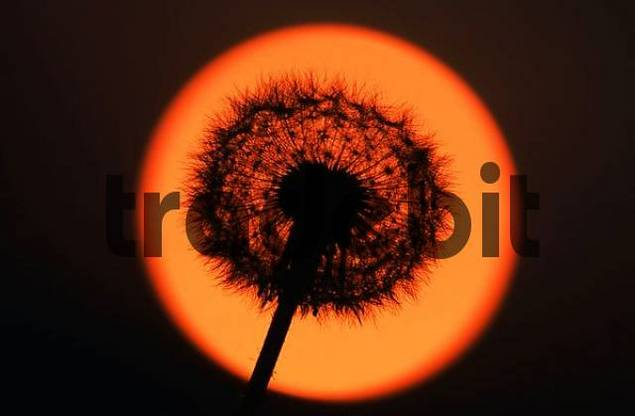 Dandelion, seed head at sunset Taraxacum officinale