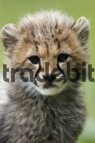 Cheetah, cub Acinonyx jubatus