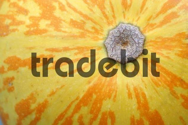 Pumpkin Cucurbita pepo