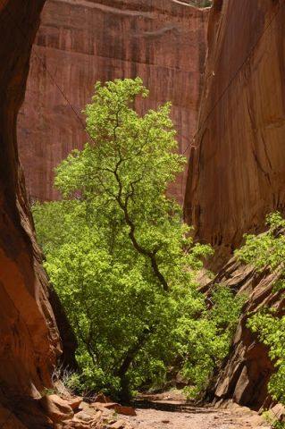 Fremont Cottonwood Populus fremontii in the Long Canyon, Grand Staircase-Escalante National Monument, Utah, USA