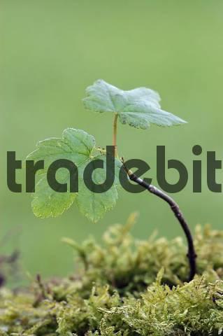 Sycamore, seedling, North Rhine-Westphalia, Germany Acer pseudoplatanus