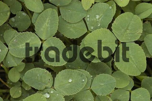 White Clover leaves, North Rhine-Westphalia, Germany Trifolium repens