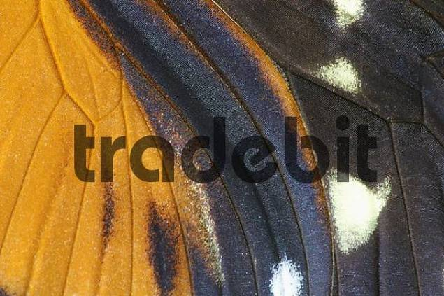 Hecales Longwing, wing detail Heliconius hecale
