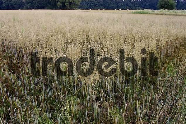 Oats field, North Rhine-Westphalia, Germany Avena sativa