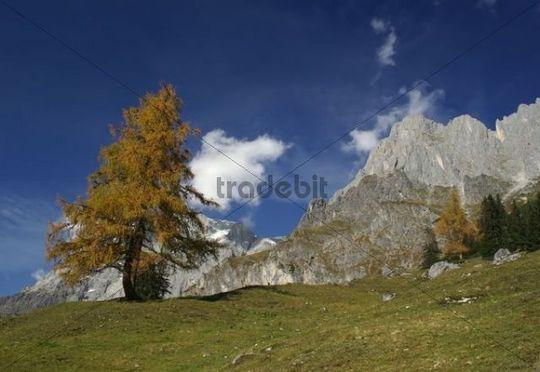 Solitary larch tree in autumn in an alpine mountain landscape, Hochkoenig Mountain, Alps, Berchtesgaden Alps, Salzburg, Austria, Europe