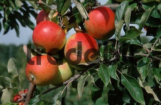 Apples Cox Orange on tree, Lower Saxony, Germany Malus x domestica