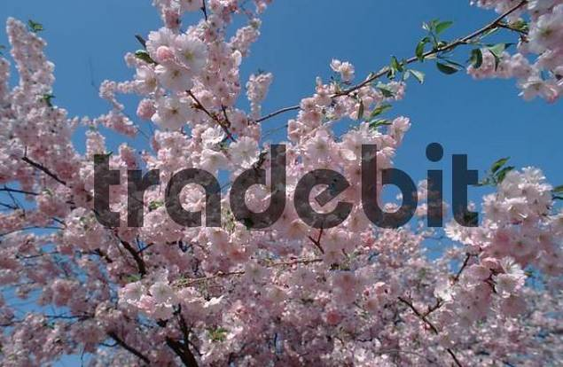 Blooming Japanese Cherry Accolade Prunus hybride