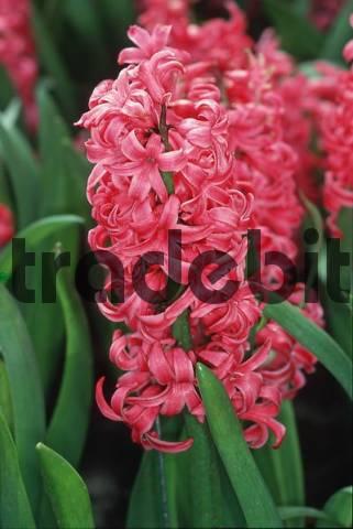 Hyacinths Pink Pearl Hycinthus orientalis hybrid