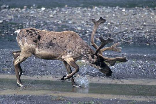 Reindeer Rangifer tarandus in the water, Denali National Park, Alaska, USA