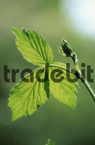 Blackberry, leaf in spring Rubus fruticosus