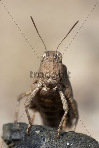 Blaufluegelige Oedlandschrecke grasshopper (Oedipoda caerulescens)