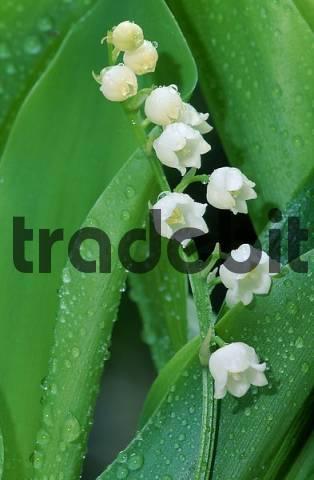 Lily of the Valley, North Rhine-Westphalia, Germany Convallaria majalis