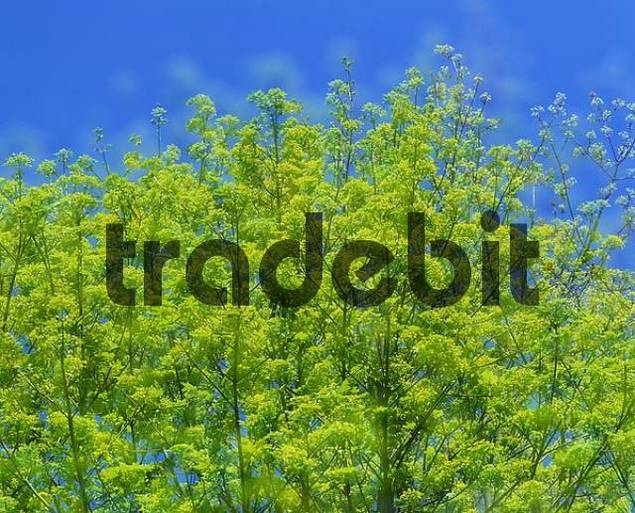 Norway Maple in spring, Germany Acer platanoides