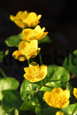 blossoms of caltha palustris