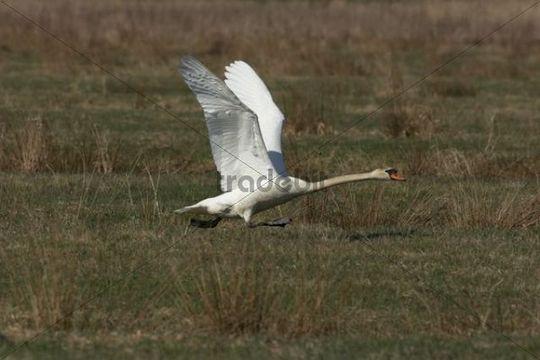 Mute Swan Cygnus olor, beginning to fly