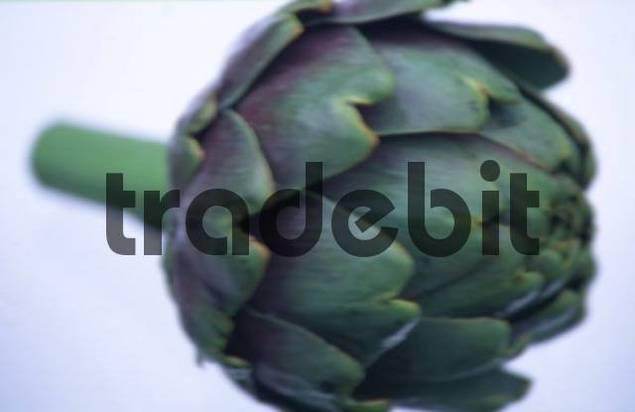Artichoke Cynara scolymus