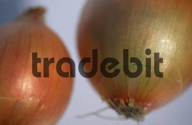 Onions Allium cepa