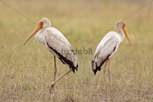 Yellow-billed Stork Mycteria ibis, Moremi National Park, Moremi Wildlife Reserve, Okavango Delta, Botswana, Africa