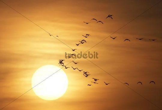 Geese Anserinae flying in front of the sun