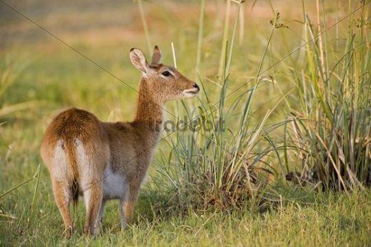 Lechwe Kobus leche, Moremi National Park, Moremi Wildife Reserve, Okavango Delta, Botswana, Africa