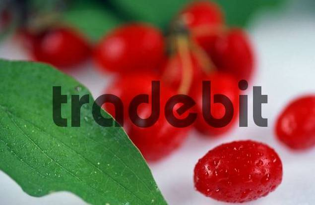 Cornelian Cherry fruits Cornus mas