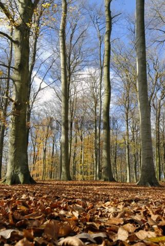 Beech tree forest Fagus sylvatica in autumn, near Kiel, Schleswig-Holstein, Germany, Europe
