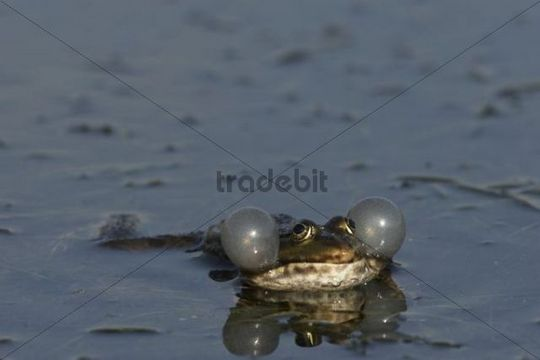 Marsh Frog (Rana ridibunda, Syn: Pelophylax ridibundus) with extended vocal sacs
