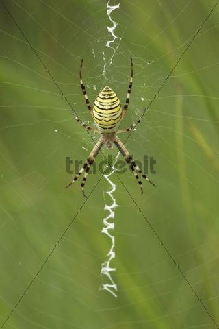 Female Wasp Spider (Argiope bruennichi) in a web
