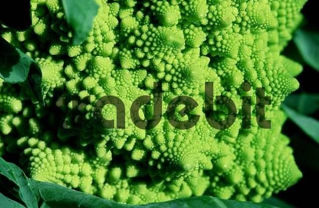 Cauliflower Brassica oleracea var. botrytis Romanesco