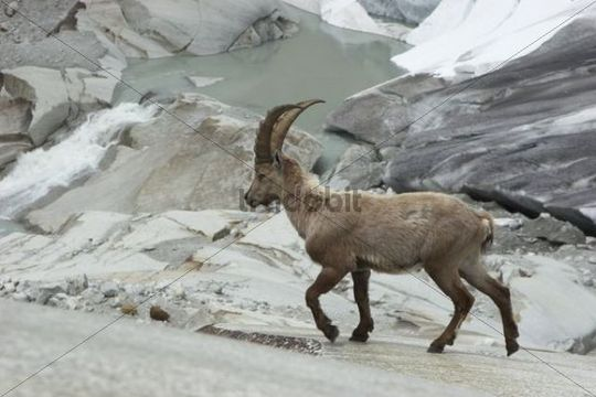 Alpine ibex (Capra ibex) at the Rhone Glacier, Canton Valais, Switzerland, Europe