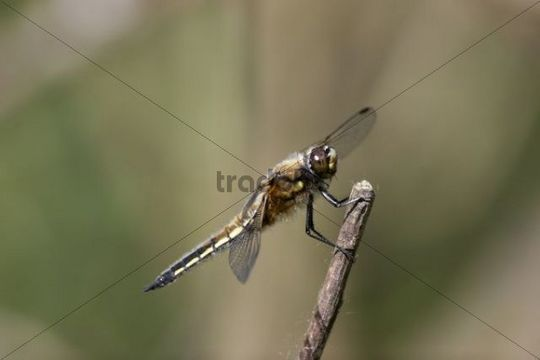 Four-spotted Chaser Dragonfly (Libellula quadrimaculata)