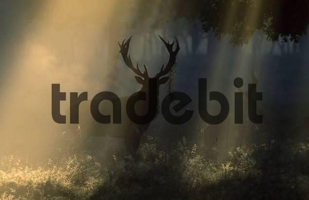 Red Deer, male, in fog Cervus elaphus