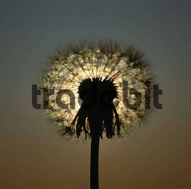 Dandelion, seed head Taraxacum officinale