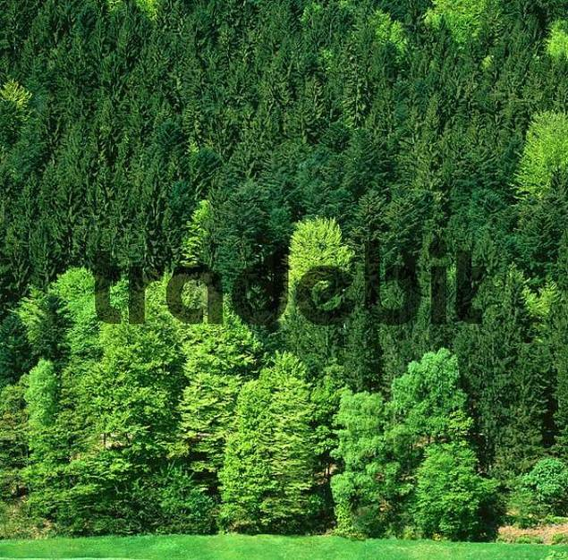 Mixed Forest in spring, Black Forest, Baden-Wurttemberg, Germany