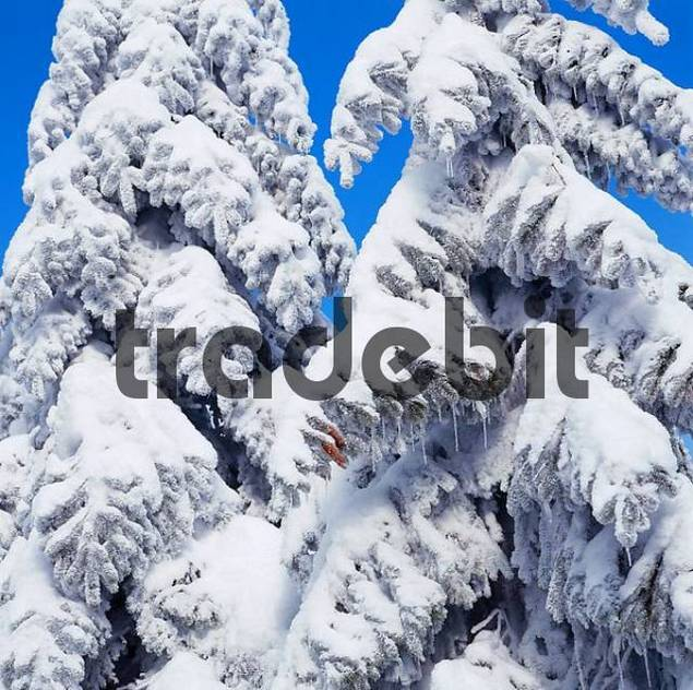 Snow covered coniferous trees, Hornisgrinde, Black Forest, Baden-Wurttemberg, Germany