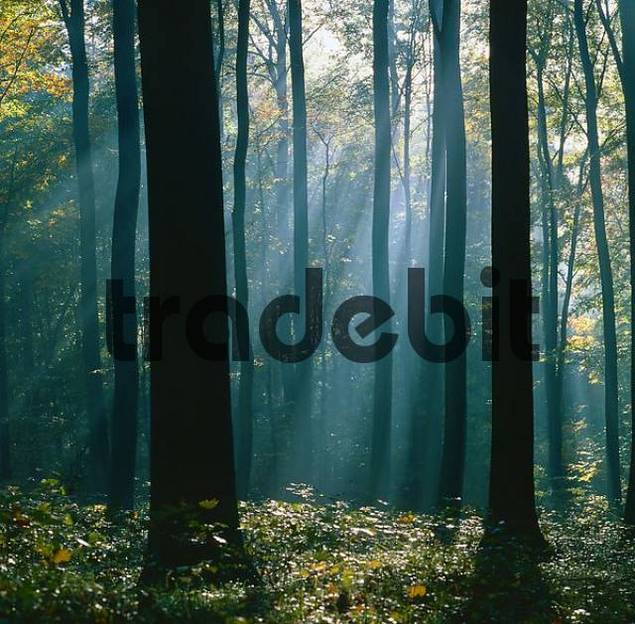 Sunrayes shining through deciduous forest, Baden-Wurttemberg, Germany