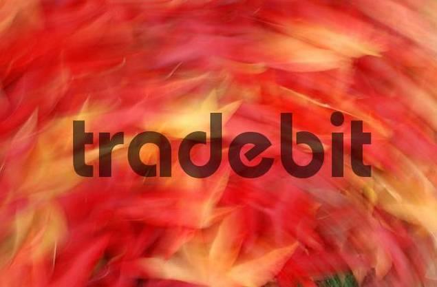 Sweet Gum Tree leaves in autumn Liquidambar styraciflua pendula