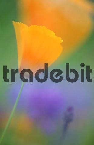 Californian Poppy Eschscholzia californica