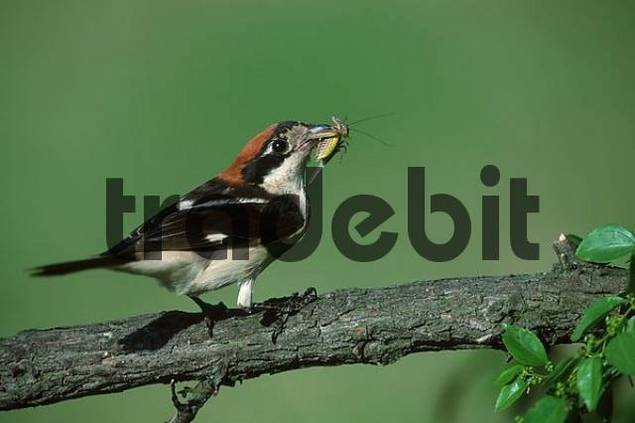 Woodchat Shrike with prey, Bulgaria Lanius senator