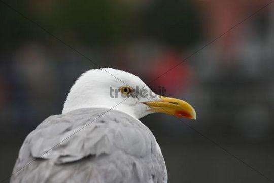Seagull Laridae, portrait
