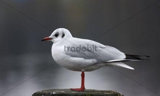 Black-headed Gull Larus ridibundus